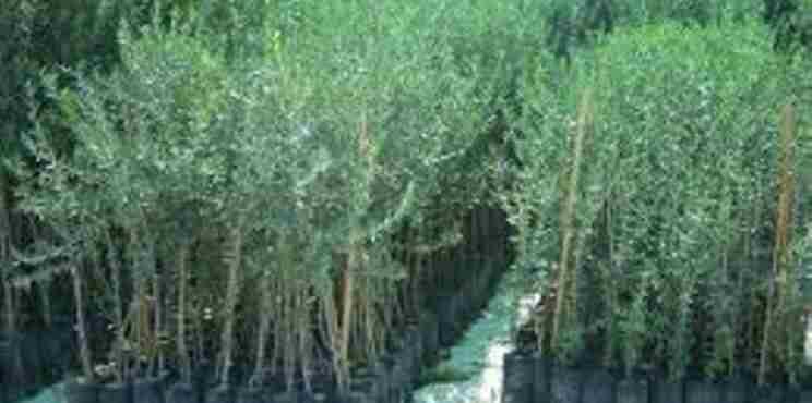 Η Ένωση Φυτωριούχων Ελλάδας διαθέτει 3.000  δενδρύλια στους πυρόπληκτους ελαιοπαραγωγούς των Αθικίων