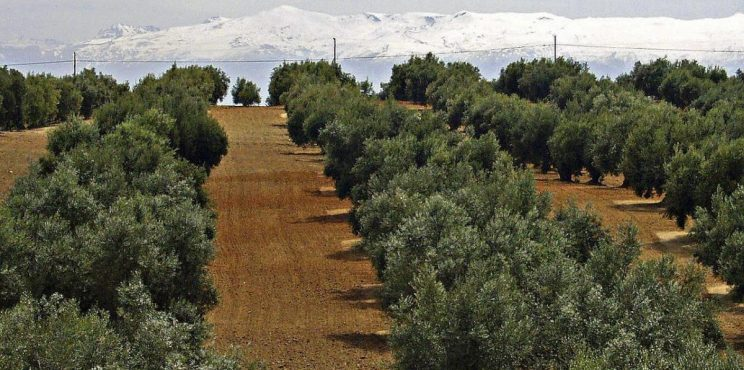 Από τον παραδοσιακό ως τον υπέρ-εντατικό ελαιώνα: το μονοπάτι της αλλαγής της Ισπανικής ελαιοκομίας